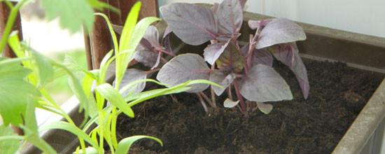 Świeże zioła prosto z balkonu
